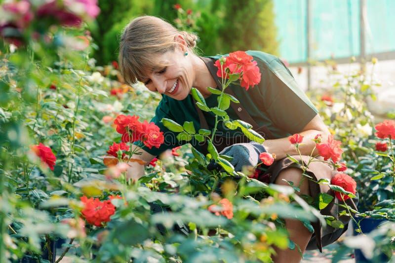 Kommersiell trädgårdsmästarekvinna som arbetar i rosorna royaltyfria bilder