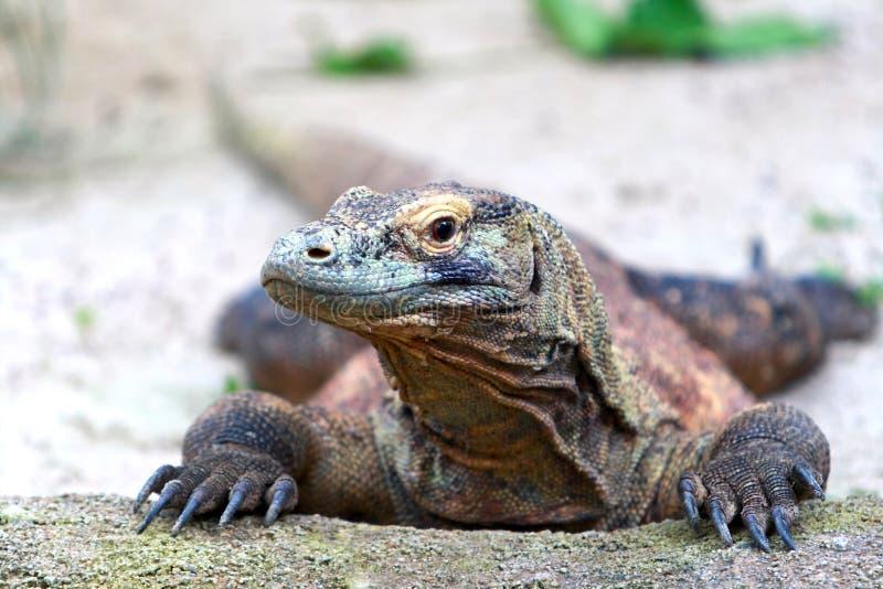 komodo дракона стоковое изображение rf