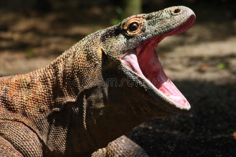 Komodo Drache stockbilder
