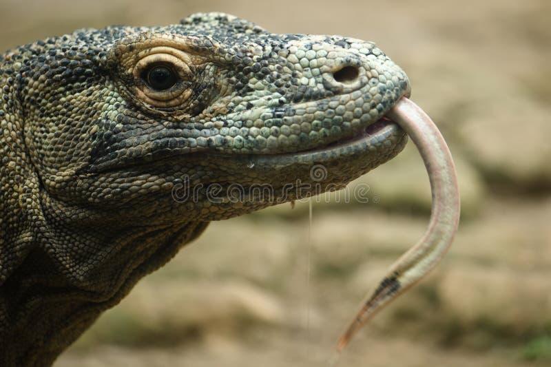 Komodo Dracheabschluß oben stockfoto
