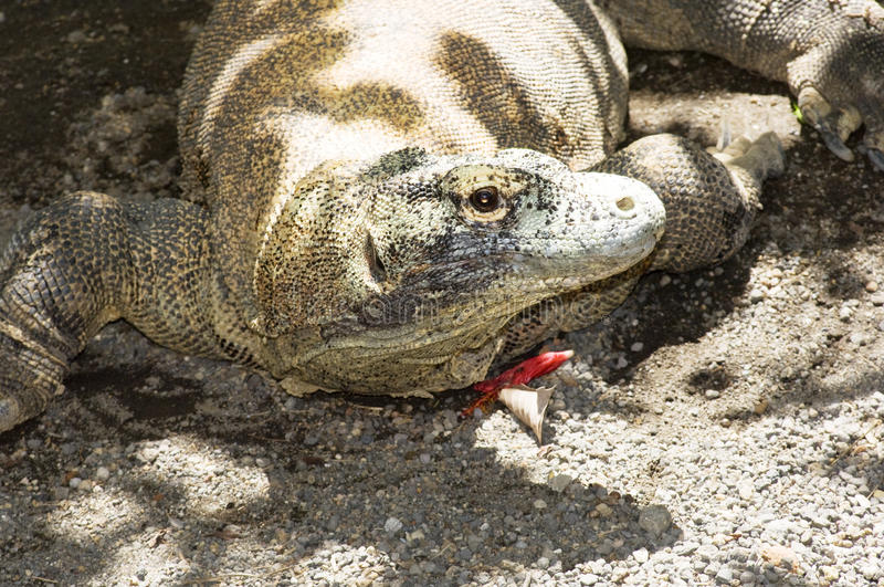 Komodo dragon. The Komodo dragons are the largest lizards in the world stock image