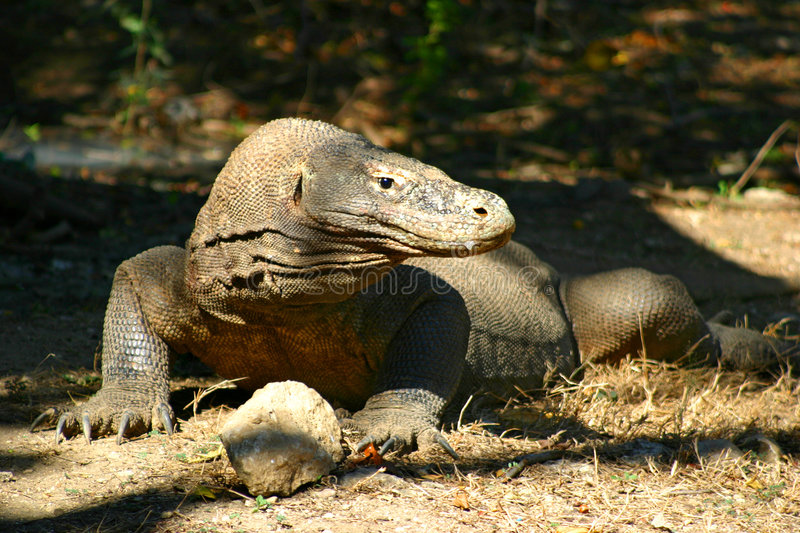 Komodo Dragon. Lazing in the sun royalty free stock images