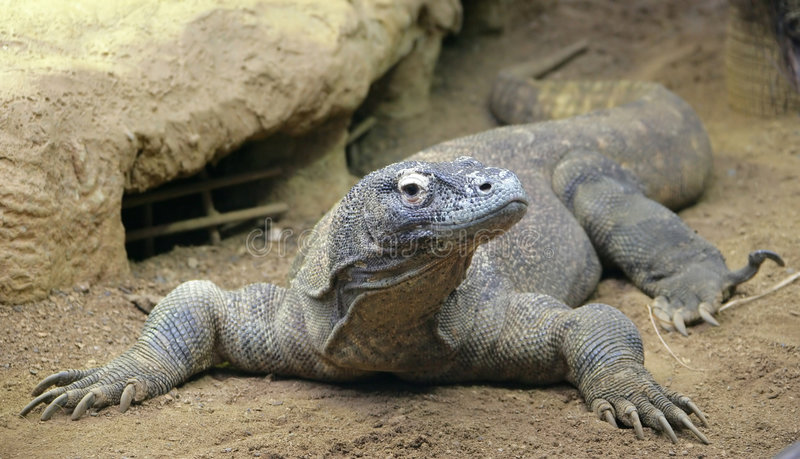 Komodo Dragon 5 stock photo