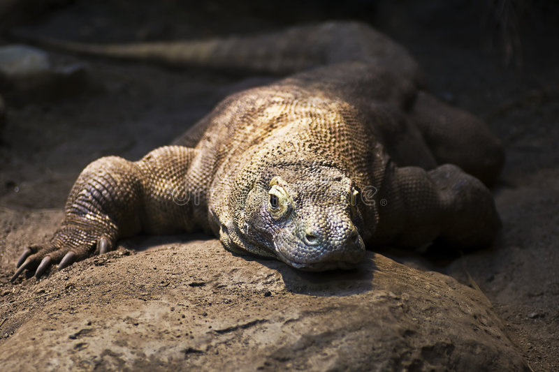 Komodo Dragon. Basking in a sun spot stock images