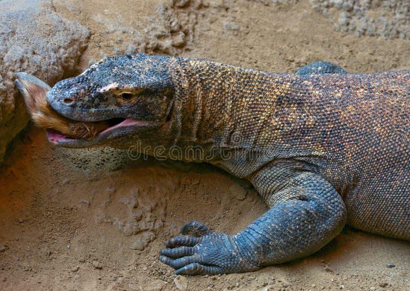 Komodo dragon eating royalty free stock photo
