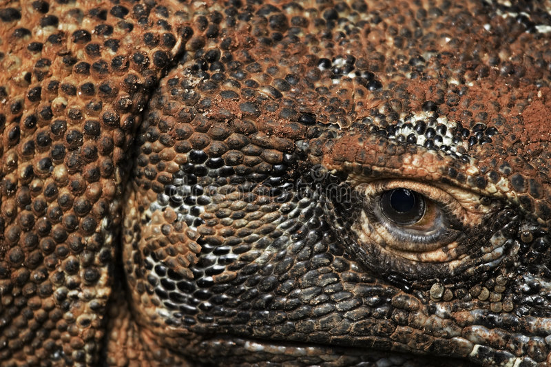 Komodo dragon eye and scales royalty free stock images