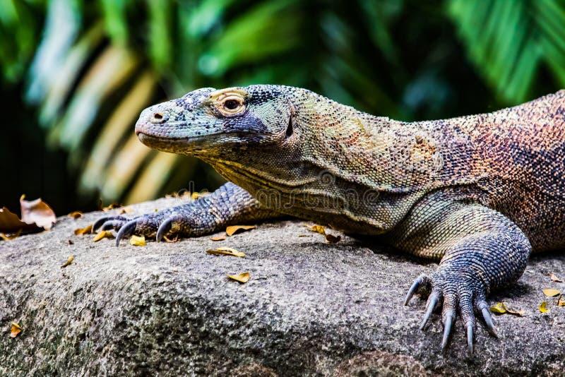 Komodo Dragon Juvenile royalty free stock images
