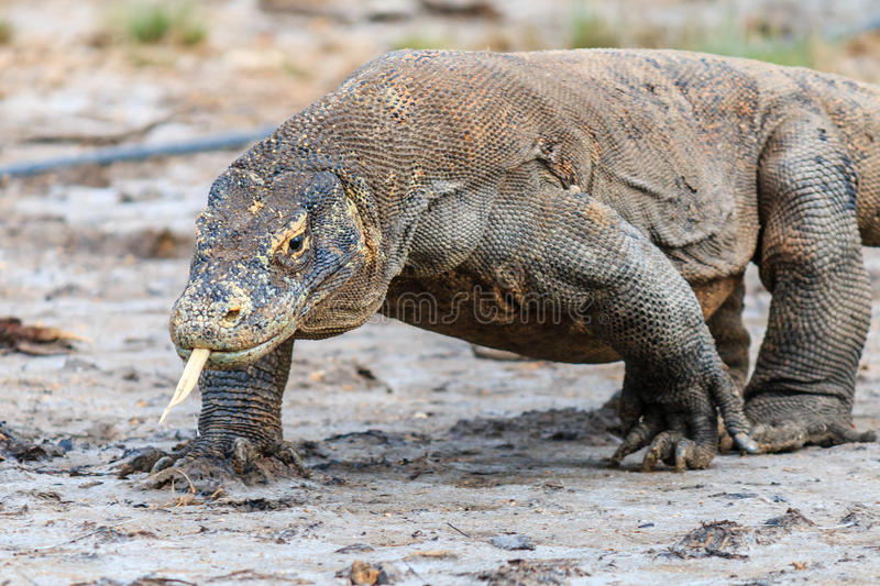 Komodo Dragon in a Mangrove swamp. Komodo Dragon, tongue extended and salive dripping from its mouth in the Komodo region royalty free stock photography