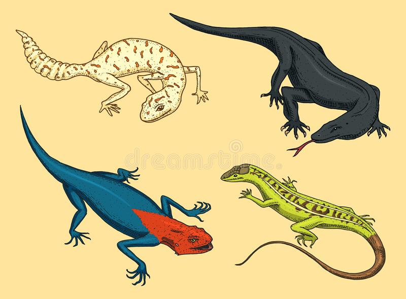 Komodo dragon monitor, American Sand lizard, exotic reptiles or snakes, spotted fat-tailed gecko. wild animals lacertian. In nature. vector illustration for royalty free illustration