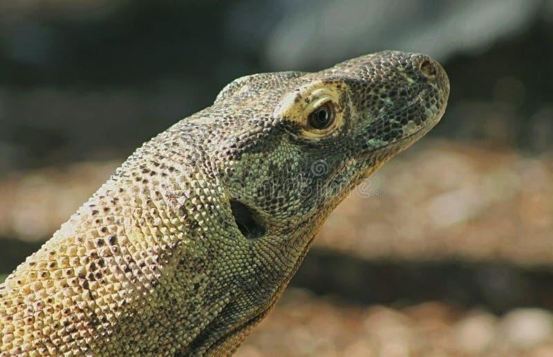 Komodo dragon, Komodo monitor stock photography
