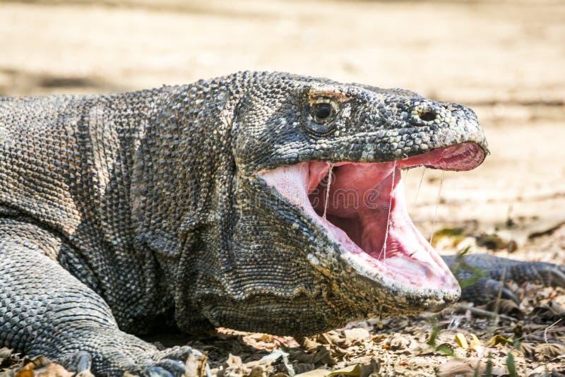 The Komodo dragon stock image