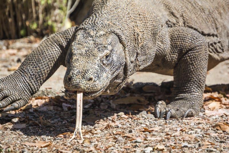 The Komodo dragon stock photos