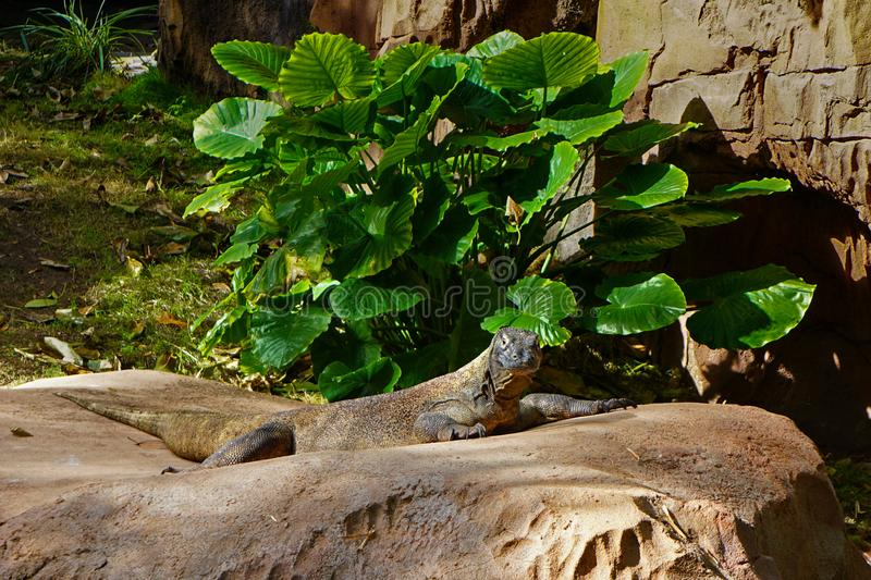 Komodo Dragon at the zoo royalty free stock photo