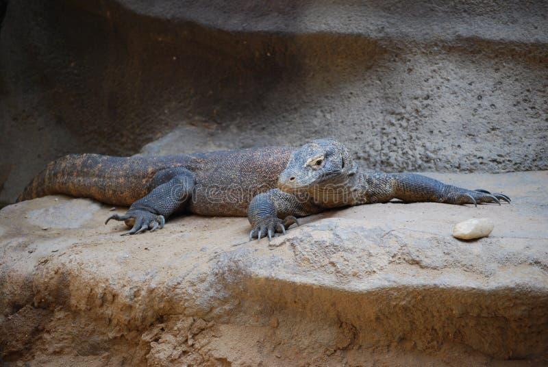 Komodo dragon (Varanus komodoensis) stock photos