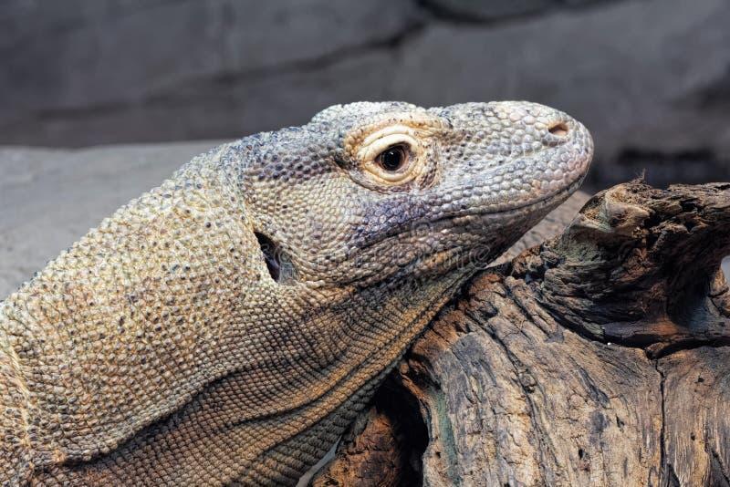 Komodo dragon, Varanus komodoensis also known as the Komodo Monitor royalty free stock photo