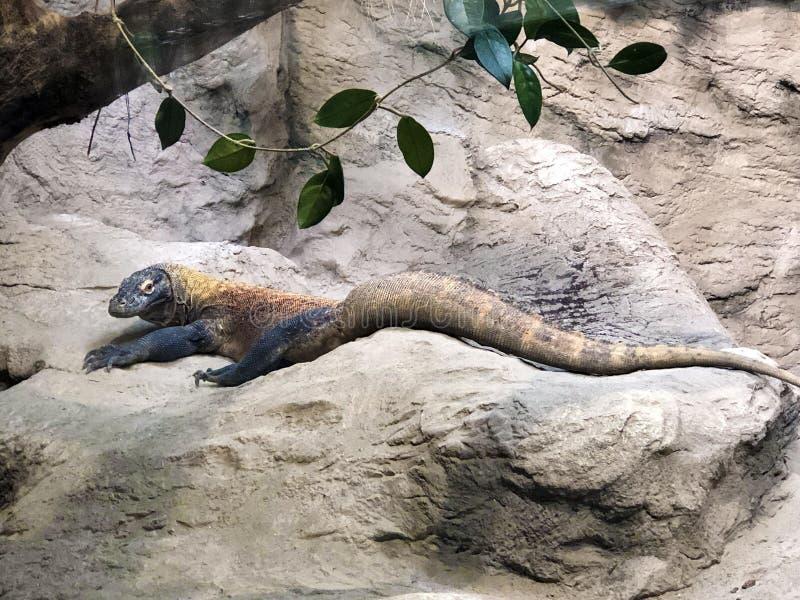 The Komodo dragon Varanus komodoensis, The Komodo monitor, Der Komodowaran oder Komododrache royalty free stock photo