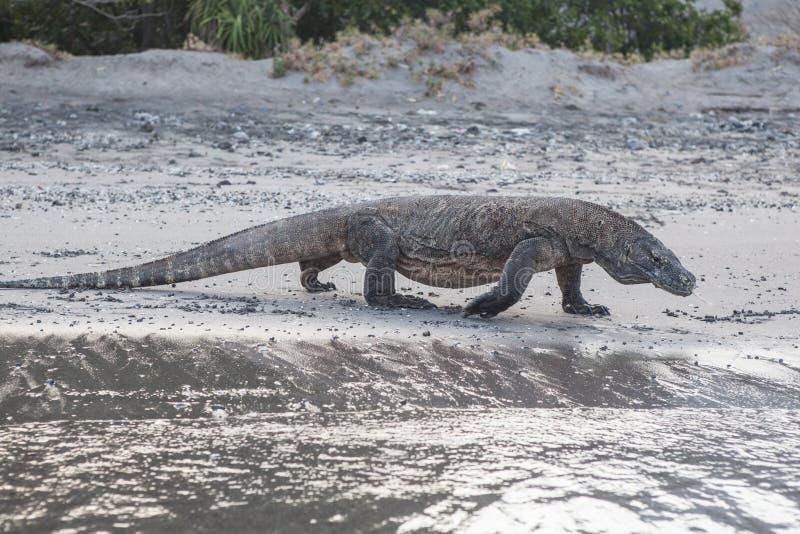 Komodo Dragon Walking sur la plage photographie stock libre de droits
