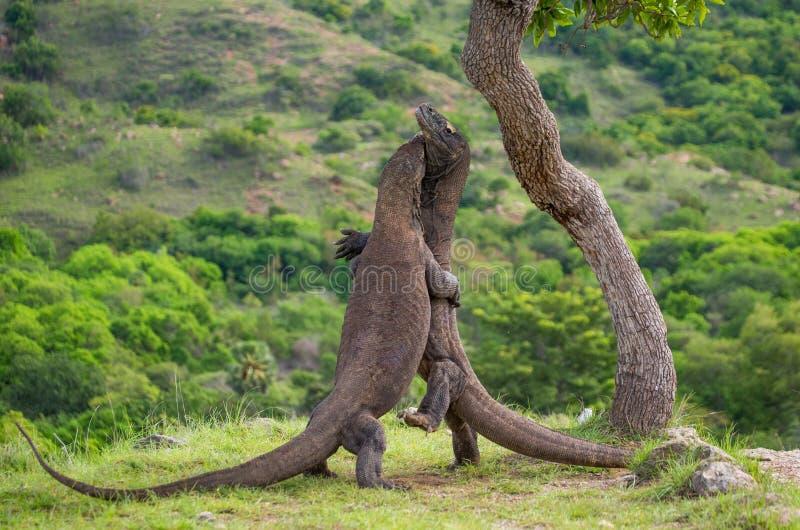 Komodo drakar slåss sig Mycket sällsynt bild Indonesien Komodo nationalpark royaltyfri bild