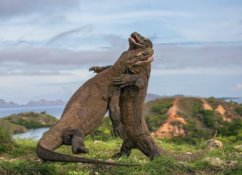 Komodo drakar slåss sig Mycket sällsynt bild Indonesien Komodo nationalpark royaltyfri fotografi