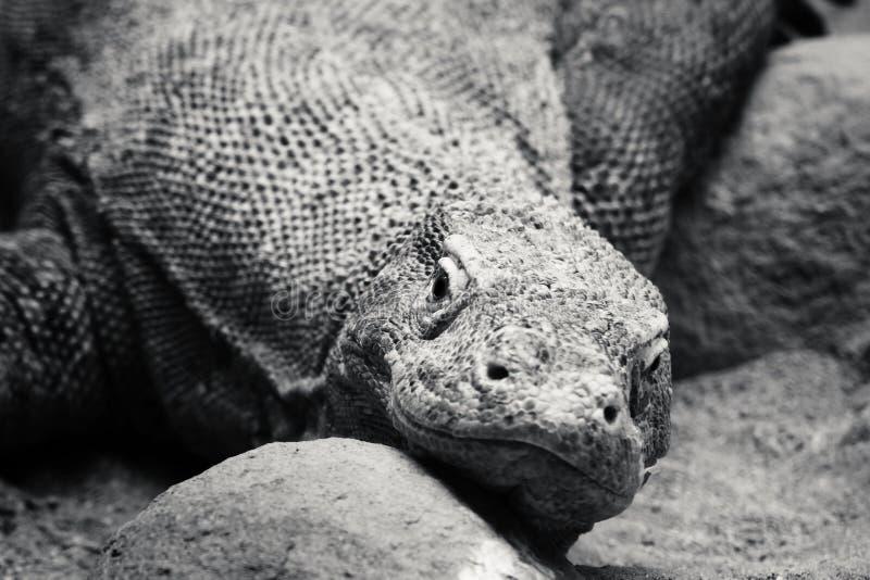 Komodo drake arkivbilder