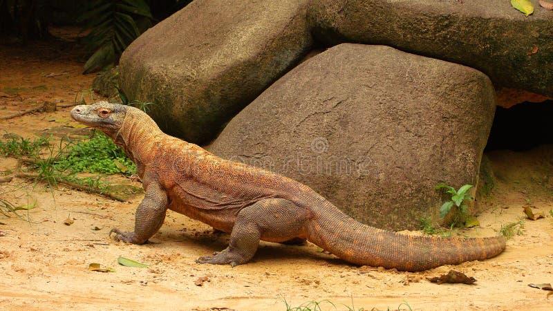 Komodo drake royaltyfria foton