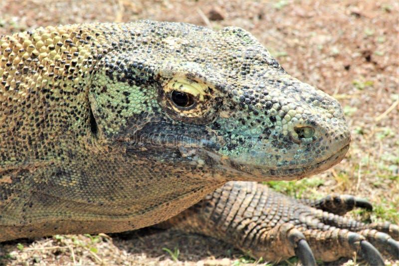 Komodo drake på den Phoenix zoo, Arizona mitt för naturvård, Phoenix, Arizona, Förenta staterna arkivfoton