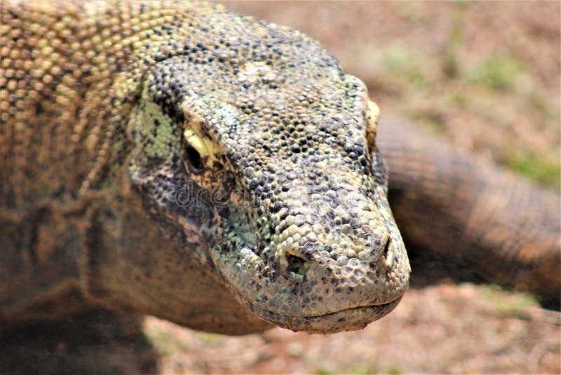 Komodo drake på den Phoenix zoo, Arizona mitt för naturvård, Phoenix, Arizona, Förenta staterna royaltyfria bilder