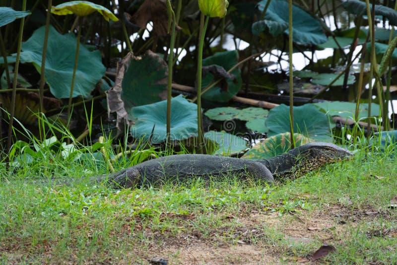 Komodo drake som är störst i den bosatta ödlan för värld i naturlig hab arkivfoto