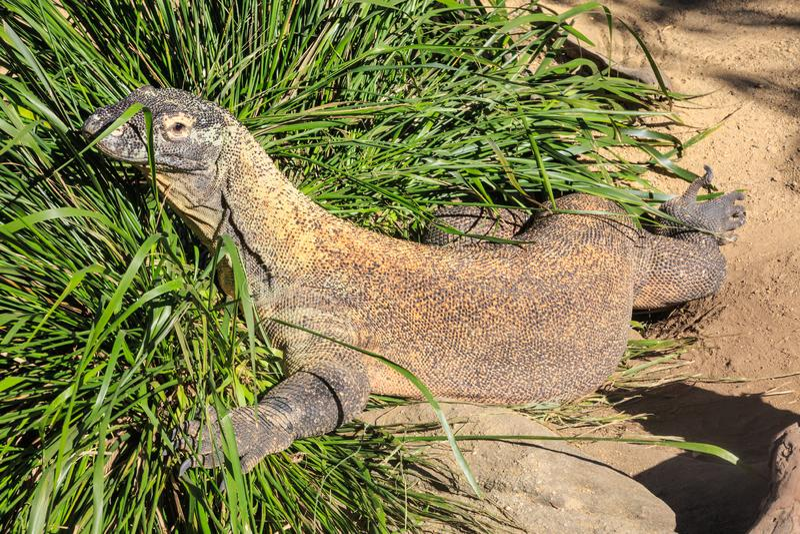 Komodo drake som vilar på en rugge av gräs royaltyfri fotografi