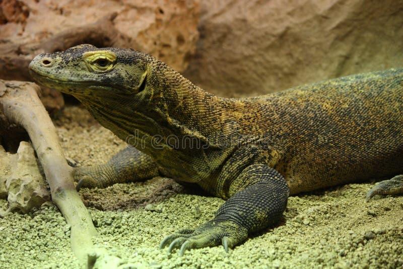 Komodo drake som vilar på sand arkivbild