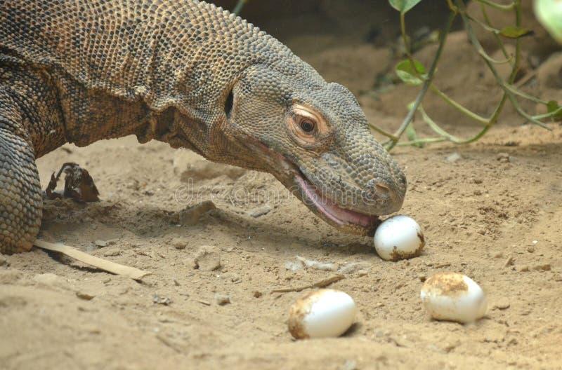 Komodo mange des oeufs images stock
