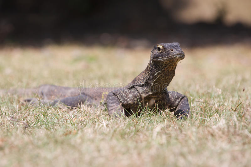 Komodo Smok obraz royalty free