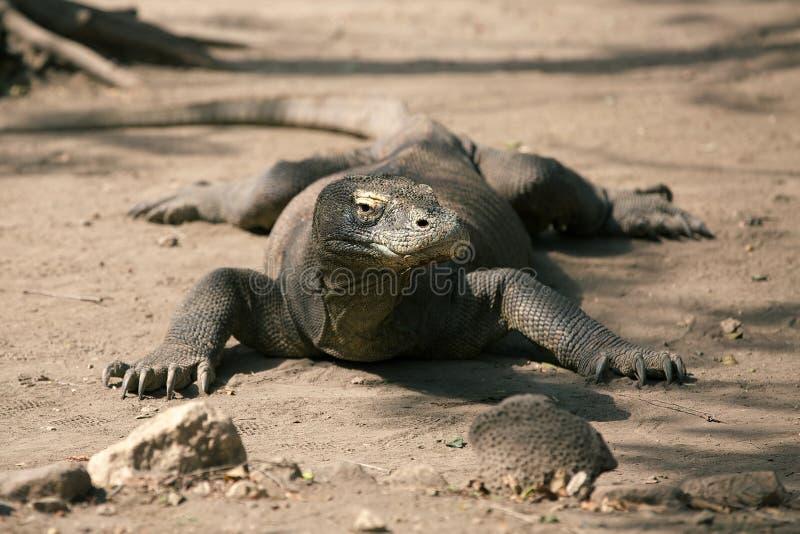 Komodo Smok fotografia stock