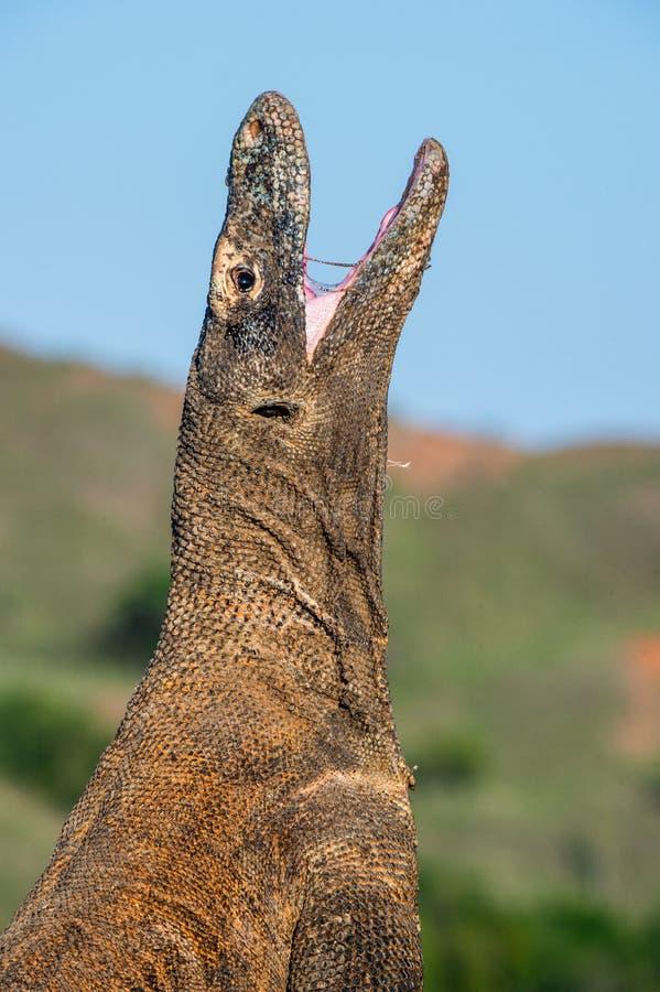 Komodo smok podnosi? g?ow? i otwiera? usta Naukowy imię: Varanus komodoensis, Ja jest dużym żywym jaszczurką wewnątrz obraz royalty free