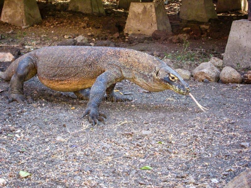 Komodo smok, prztyczki rozwidlał jęzor, Rincha wyspa, Flores, Indonezja zdjęcia stock