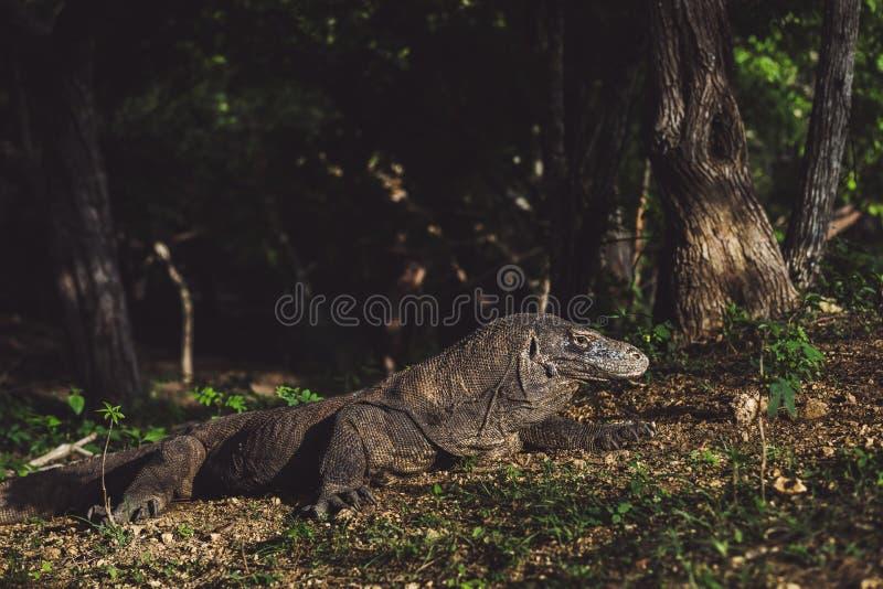 Komodo smok w górę, Varanus komodoensis fotografia stock