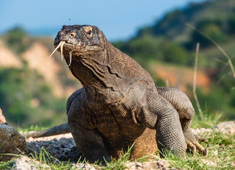 Komodo smok z zablokowanym za jego rosochatym j?zorze obw?chuje powietrze Naukowy imi?: Varanus komodoensis zdjęcia stock