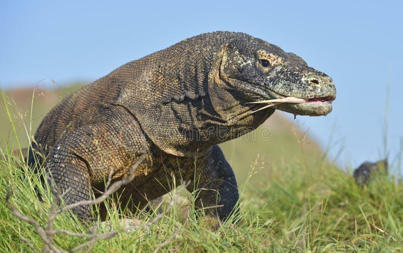 Komodo smoka Varanus komodoensis z rosochatym jęzoru sn obraz royalty free