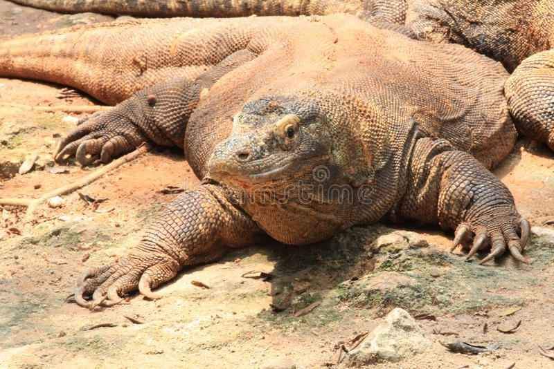 Komodo, Varanus Komodensis Indonesia royalty free stock images