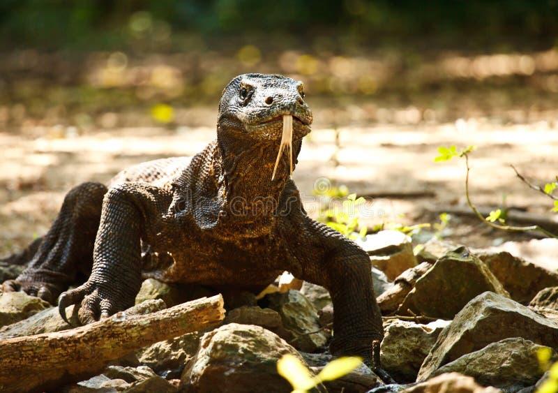 Komododraak stock foto