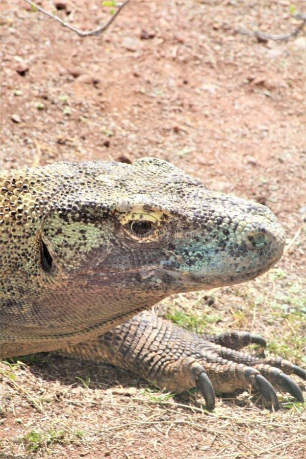 Komododraak bij de Dierentuin van Phoenix, het Centrum van Arizona voor Natuurbescherming, Phoenix, Arizona, Verenigde Staten stock afbeeldingen