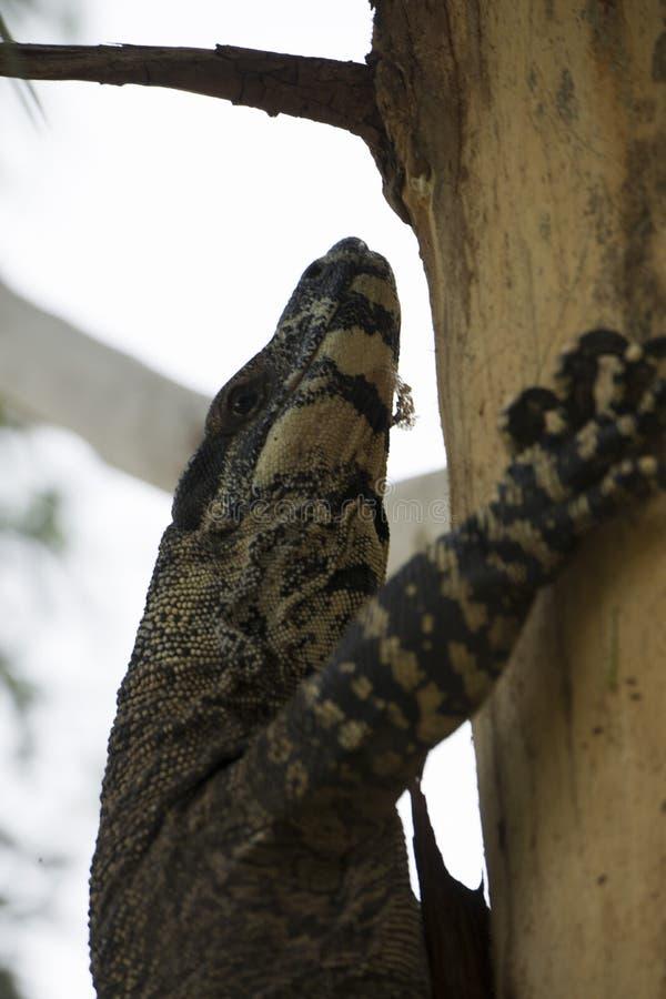 Komododraak die terloops op een boom in Australië lounging royalty-vrije stock fotografie