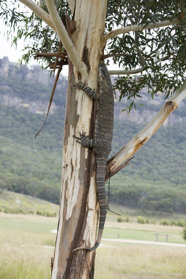 Komododraak die terloops op een boom in Australië lounging royalty-vrije stock foto