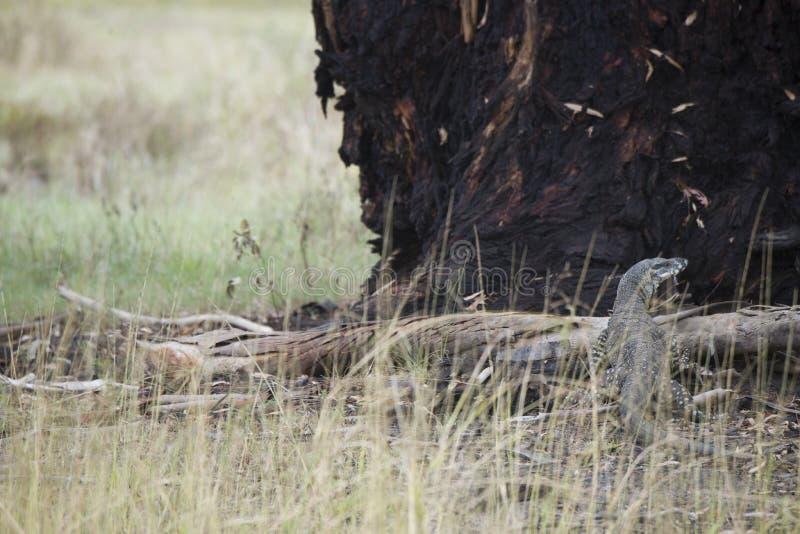 Komododraak die terloops op een boom in Australië lounging royalty-vrije stock afbeelding