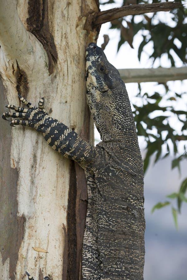 Komododraak die terloops op een boom in Australië lounging royalty-vrije stock foto's