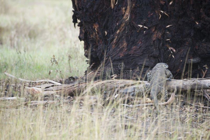 Komododraak die terloops op een boom in Australië lounging royalty-vrije stock afbeeldingen