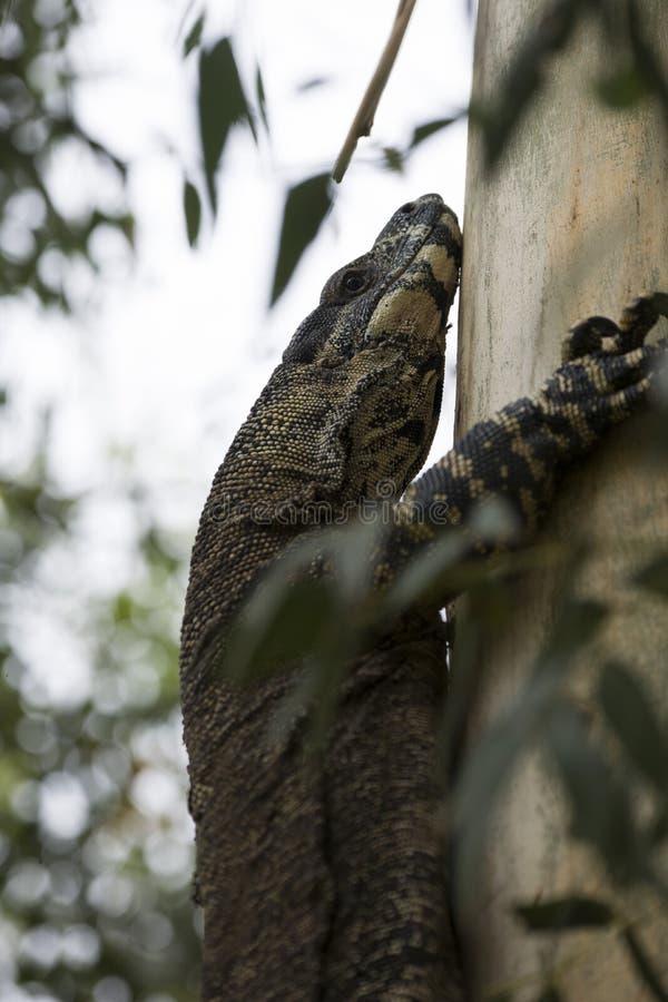 Komododraak die terloops op een boom in Australië lounging stock afbeeldingen