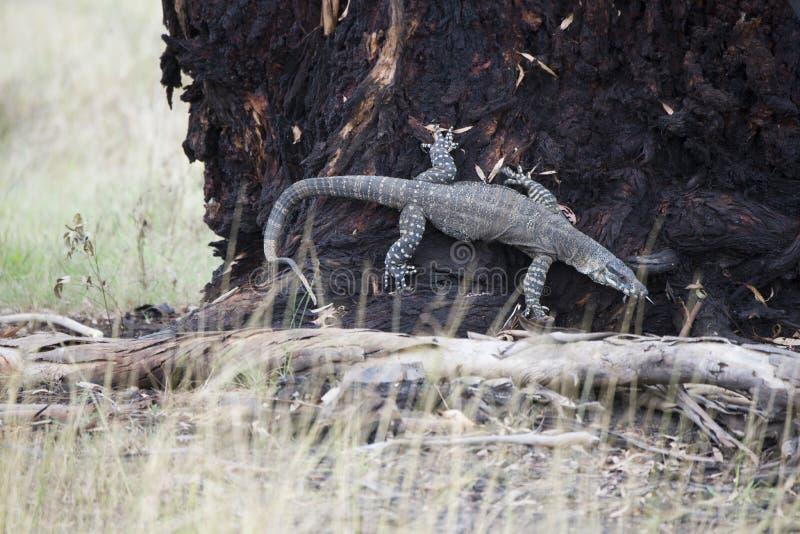 Komododraak die terloops op een boom in Australië lounging stock foto