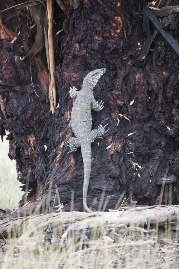 Komododraak die terloops op een boom in Australië lounging stock afbeelding