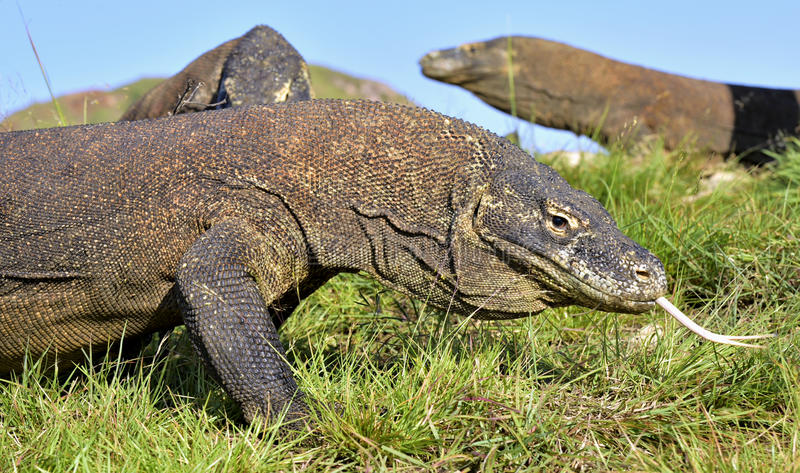 Komodoensis del Varanus del dragón de Komodo con el sn bifurcado de la lengua fotos de archivo